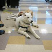 Commonwealth Charter Academy high school French teacher Stephan Bihoreau recently spoke to students about  his family's two adopted Siberian huskies that were rescues from Tails of the Tundra, a Horsham-based nonprofit. The dogs' names are Sasha and Noah.